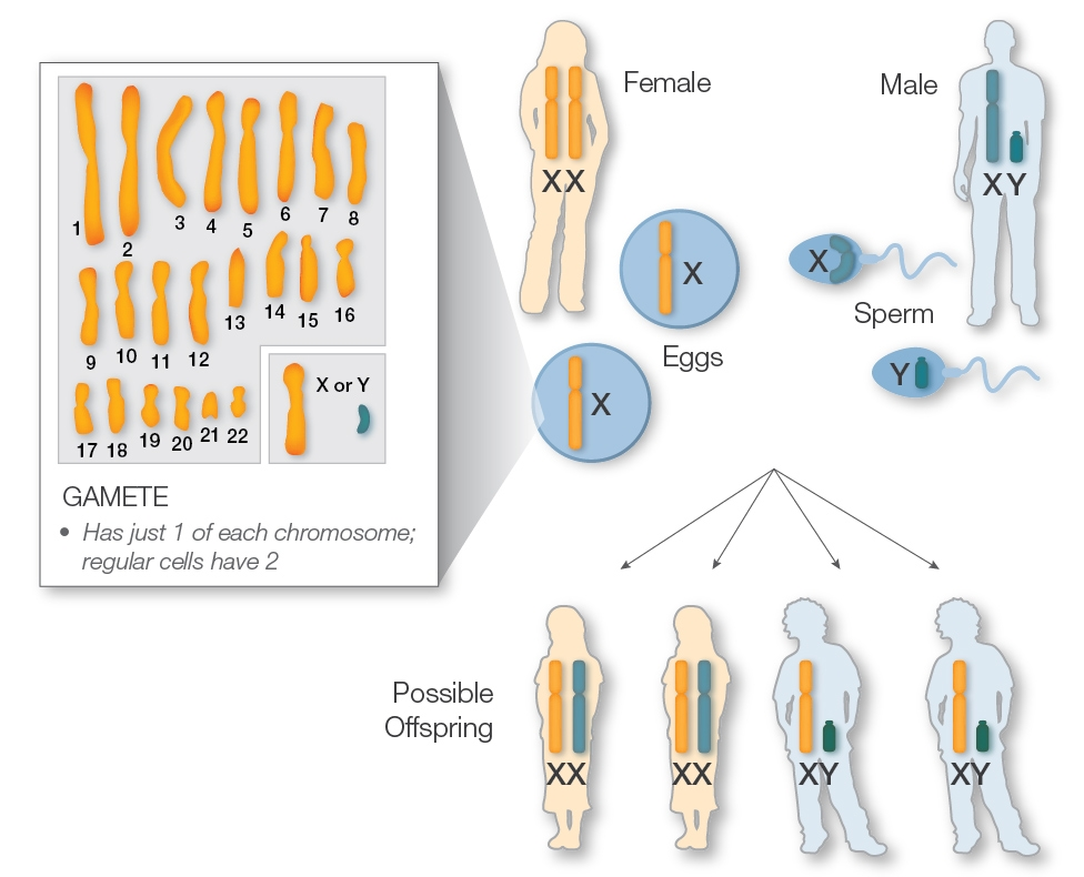 sex chromosomes and sex determination positions in Fremont